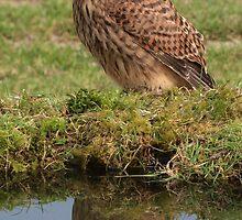 Kestrel with reflection, Wales, UK by purpleharrier