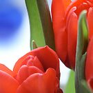 Tulips by Peter Bellamy