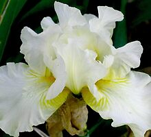 White Bearded Iris by art2plunder