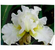 White Bearded Iris Poster