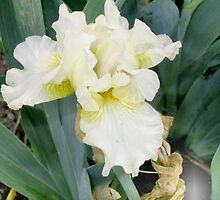 White Bearded Iris 2 by art2plunder