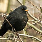 Male Blackbird by Robert Abraham
