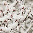 Dressed in Snow by Sviatlana