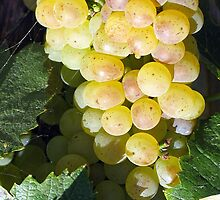 Grapes of the Santa Ynez Valley CA by Stephen Homer