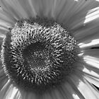 Sunflower Black and White by Christopher Clark