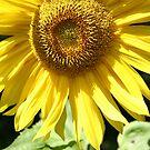 Sunflower by Christopher Clark