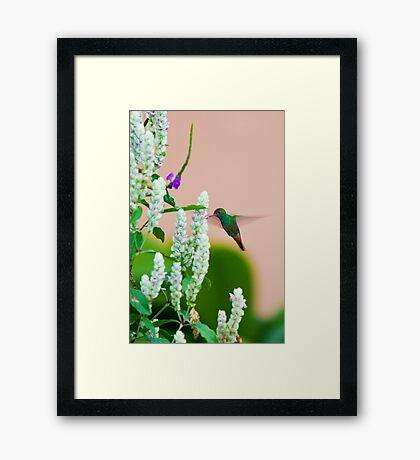 Hummingbird (vertical) In Costa Rica Framed Print