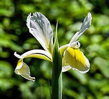 Yellow-White Iris by Susie Peek