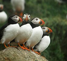Puffin Posse by DebYoung