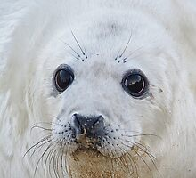 Baby Seal Pup by energyman242