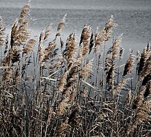 reedbreeze by Sue Clamp