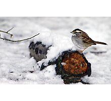 Snow Sparrow Photographic Print