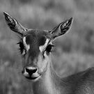 Deer at Fossil Rim Wildlife Center by Susan Russell