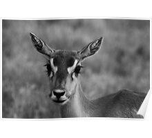 Deer at Fossil Rim Wildlife Center Poster