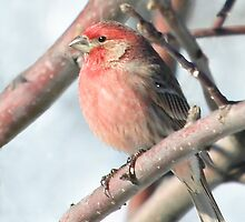 House Finch in a Tree by livinginoz