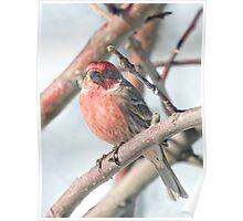 House Finch in a Tree #2 Poster