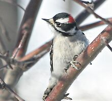 Downy Woodpecker in the Apple Tree by livinginoz