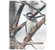 Downy Woodpecker in the Apple Tree Poster