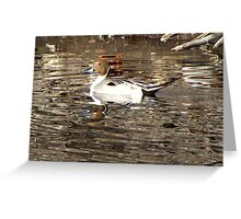 Northern Pintail ~ Male Greeting Card