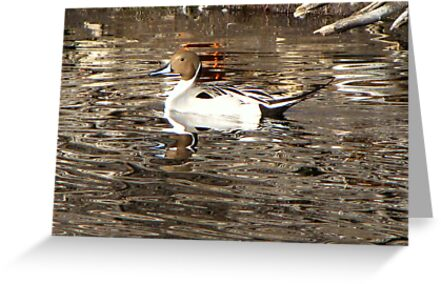 Northern Pintail ~ Male by Kimberly Chadwick