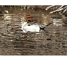 Northern Pintail ~ Male Photographic Print