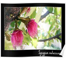 Malay Apple flowers (Syzygium malaccense)  Poster