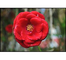 One more rose Photographic Print