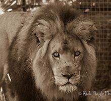 Stare Down by Rick Playle