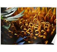 Silk Oak (Grevillea Robusta) : Rounds Poster
