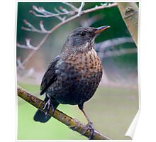 Female Blackbird Poster