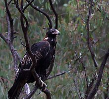 Wedge-tailed Eagle by Jeremy Weiss