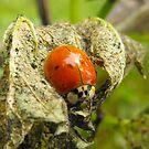 Ladybug Hideaway by Tracy Wazny