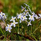 Bluets in the Meadow by AudraJS
