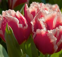 Fringed tulips by Morag Anderson