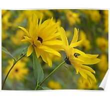 Woodland Sunflower-Helianthus strumosus Poster