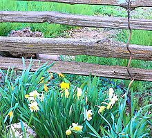 Split Rails and Daffodils by © Betty E Duncan ~ Blue Mountain Blessings Photography