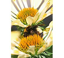 Sandwiched Bumblebee  (vertical) Photographic Print