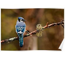 Blue Jay On Branch Poster