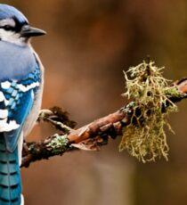Blue Jay On Branch Sticker