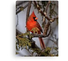 Male Northern Cardinal in Cedar Tree - Ottawa, Ontario Canvas Print