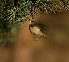 Hovering Goldcrest by Jon Lees