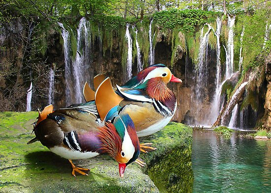 MANDARIN DUCKS by Michael Sheridan