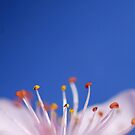 Blossom | pink on blue by Janet Leadbeater