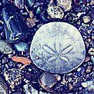 sand dollar by sara montour