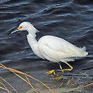 Snowy Egret by hatterasjack