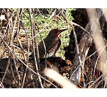 Northern Flicker (Red-shafted) ~ Male Photographic Print