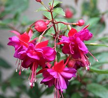 Flowering Fuschia  by heatherfriedman