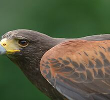 Harris Hawk 1 by John Caddell