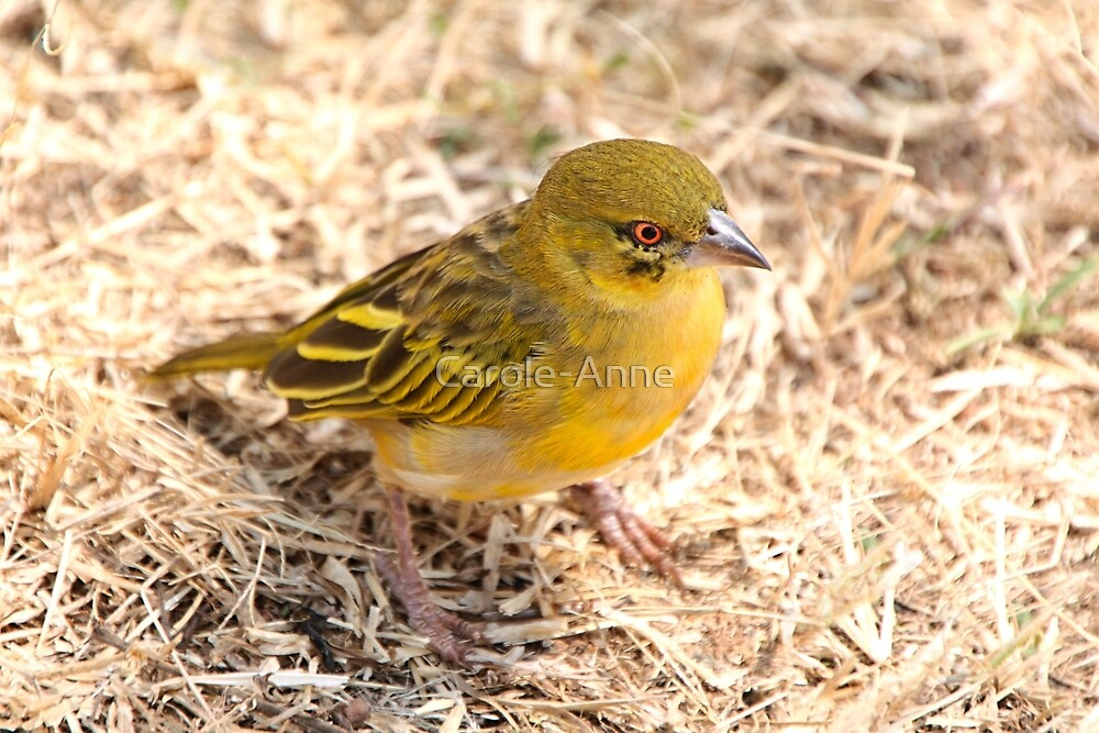 Yellow-fronted Canary, Serengeti National Park, Tanzania  by Carole-Anne
