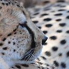 a cheetah and his spots by karen peacock